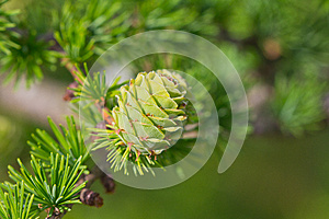 Fresh Cone On A Branch Royalty Free Stock Photos - Image: 25395088