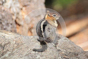 Golden Mantled Ground Squirrel Royalty Free Stock Photo - Image: 25398155