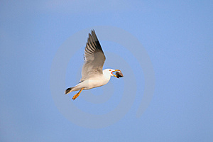 Seagull With Bivalve In Beak Stock Photography - Image: 2546132
