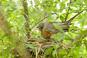 Robin In A Nest Stock Photo - Image: 2549550