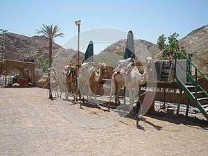 Preparação Para O Safari Do Camelo Fotografia de Stock Royalty Free - Imagem: 25400147