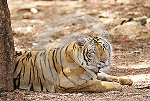Staring Tiger Stock Images - Image: 25405104