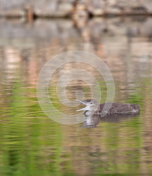 Common Loon Royalty Free Stock Photography - Image: 25411497