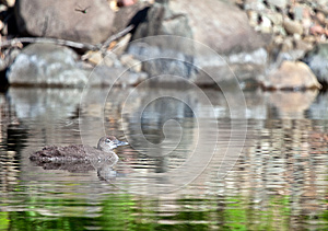 Common Loon Profile Royalty Free Stock Photos - Image: 25411518