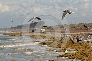 Seaweed And Seagulls On The Shore Stock Images - Image: 25418894