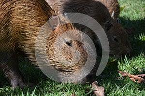 Capybara Stock Images - Image: 25425114