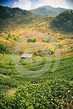 Theeaanplanting. Royalty-vrije Stock Foto - Afbeelding: 25437075