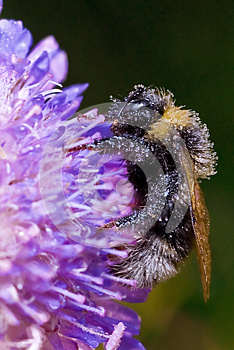 Sleep Bumblebee On A Field Flower Stock Image - Image: 25437811