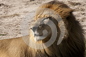 Contented Adult Male Lion Basking In The Sun Royalty Free Stock Images - Image: 25442809