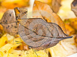 Indian Leafwing Butterfly Stock Image - Image: 25443941