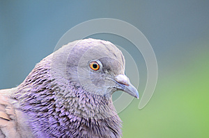 Pigeon Royalty Free Stock Images - Image: 25447979