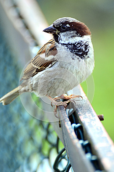 House Sparrow Royalty Free Stock Photos - Image: 25448058