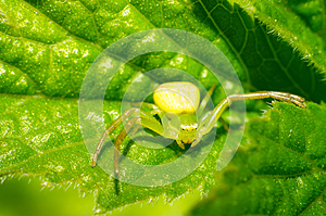 Thomisidae Royalty Free Stock Photography - Image: 25451417