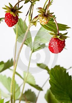 Wild Srawberry Royalty Free Stock Photo - Image: 25452185
