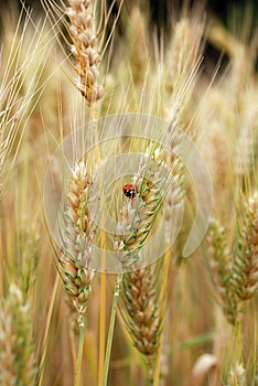 Ears Of Wheat And Ladybird Royalty Free Stock Images - Image: 25455779