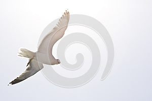 Seagull Royalty Free Stock Images - Image: 25455859