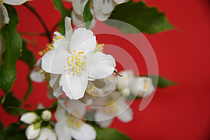 Jasmine Flowers Royalty Free Stock Images - Image: 25457009