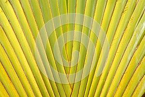 Tige De Lame De Paume De Voyageur Image stock - Image: 25466271