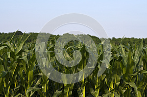 Leaves Of Maize Royalty Free Stock Photo - Image: 25471075