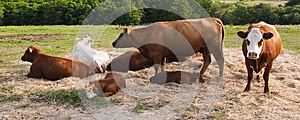 Cows And Calves Royalty Free Stock Photography - Image: 25471087