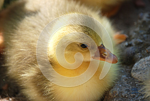 Goose Chick Royalty Free Stock Photography - Image: 25477497