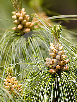 Pine Cone Royalty Free Stock Photography - Image: 25491087