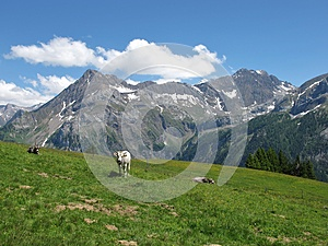 Cattle In The Swiss Alps Royalty Free Stock Photos - Image: 25492188