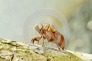 Cicada Shell Stock Photos - Image: 25493173