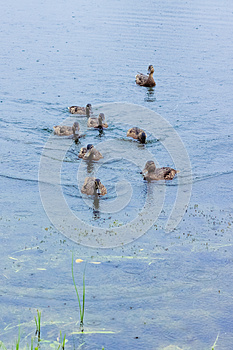 Ducks On The Lake Royalty Free Stock Photo - Image: 25494125
