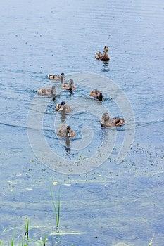 Kaczki Na Jeziorze Zdjęcie Royalty Free - Obraz: 25494125