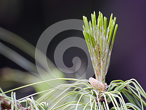 Pine Cone Royalty Free Stock Photography - Image: 25495127