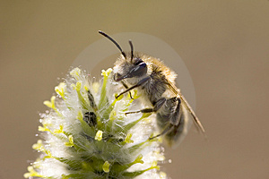 Sunlight Bee Royalty Free Stock Photos - Image: 2553788