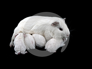 Abyssinian Guinea Pigs Royalty Free Stock Images - Image: 25507659