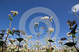 Buckwheat Flowers Royalty Free Stock Photo - Image: 25516125