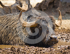 A Dirty Buffalo In The Mud Royalty Free Stock Photo - Image: 25533415
