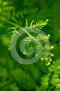 Fern Background Royalty Free Stock Photography - Image: 25542417