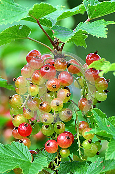 Red Currant Bush Royalty Free Stock Images - Image: 25547909