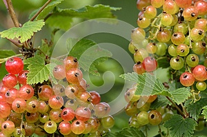 Red Currant Bush Stock Image - Image: 25547931