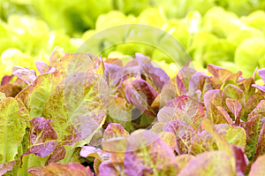 Red Little Baby Lettuce Stock Photo - Image: 25548060