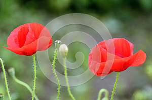Oriental Poppies In Red Royalty Free Stock Images - Image: 25548119