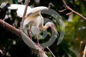 White Ibis Stock Photography - Image: 25568982