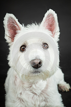 White Westhighland Westie Terrier Royalty Free Stock Photo - Image: 25571625