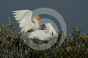 Fighting Cattle Egret Stock Photos - Image: 25580113