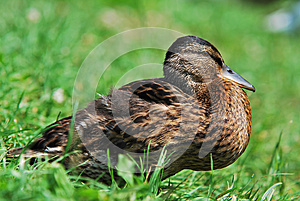 Wild Duck Stock Photos - Image: 25593743