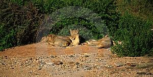 Basking Lions Royalty Free Stock Photography - Image: 2562077