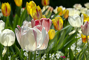 Tulip Bloom Royalty Free Stock Photos - Image: 2563788