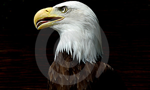American Eagle Stock Photo - Image: 2568510