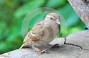 Sparrow Resting Stock Photos - Image: 25601353