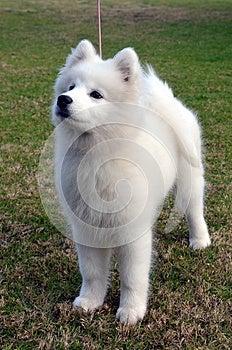 Samoyed Puppy. Royalty Free Stock Photo - Image: 25602055