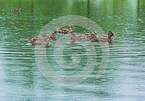 Ducks On The Lake Royalty Free Stock Photo - Image: 25603405
